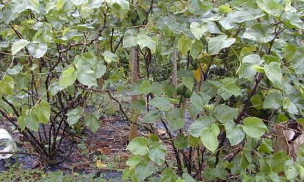 Vanuatu kava seeking new markets